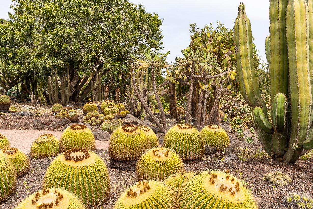 Kasvitieteellinen puutarha Viera y Clavijo, Gran Canaria, kultasiilikaktus
