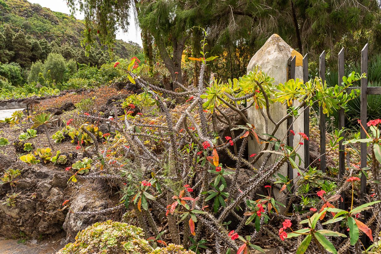 Kasvitieteellinen puutarha Viera y Clavijo, Gran Canaria, piikkikruunu