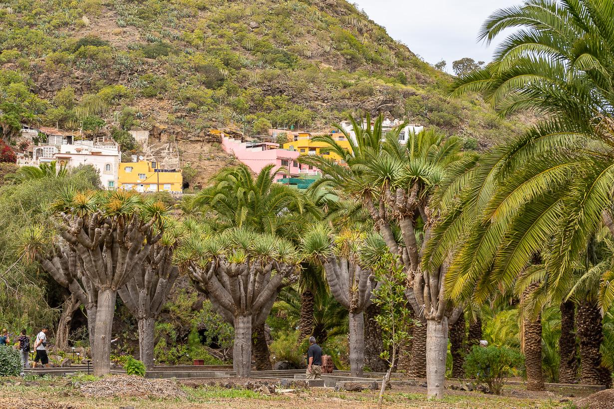 Kasvitieteellinen puutarha Viera y Clavijo, Gran Canaria, kanariantraakkipuu