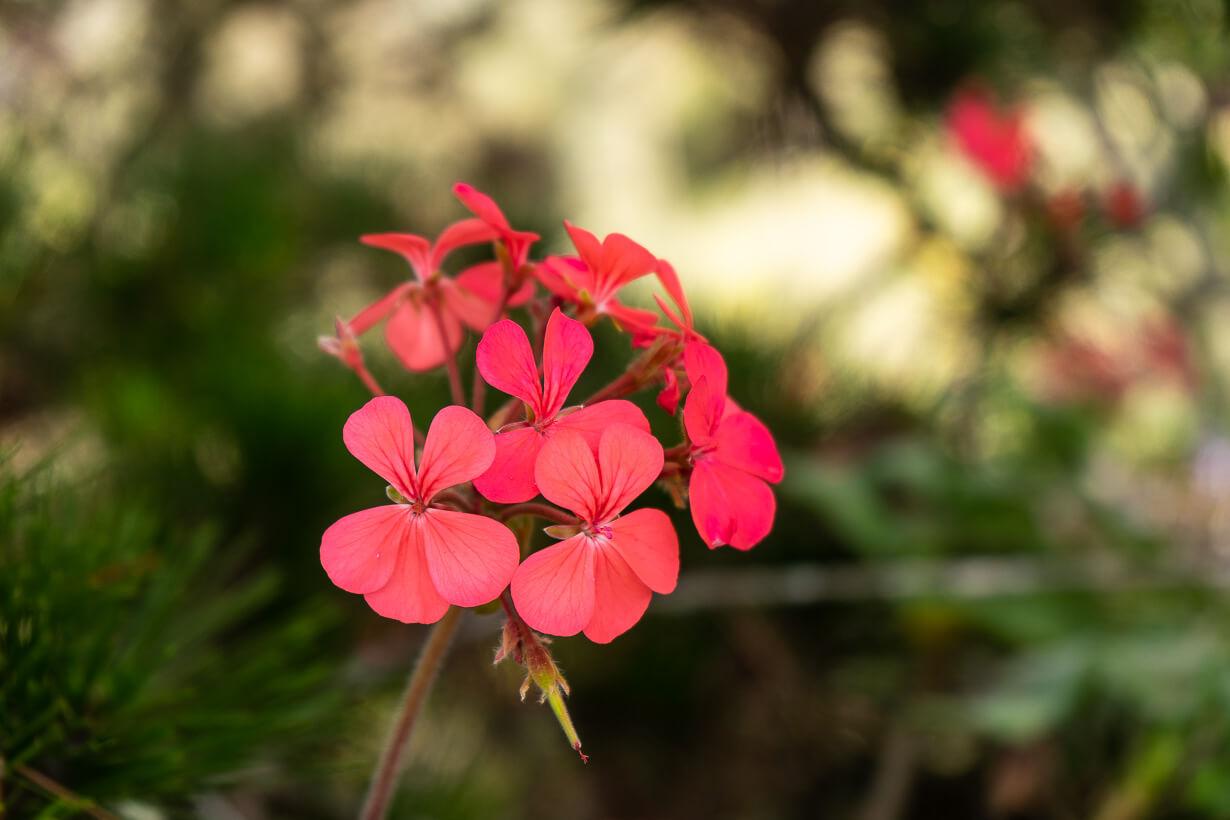 Kukkia Pico de Bandaman luona, Gran Canaria