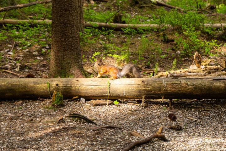 Orava Suolijärven ruokintapaikalla