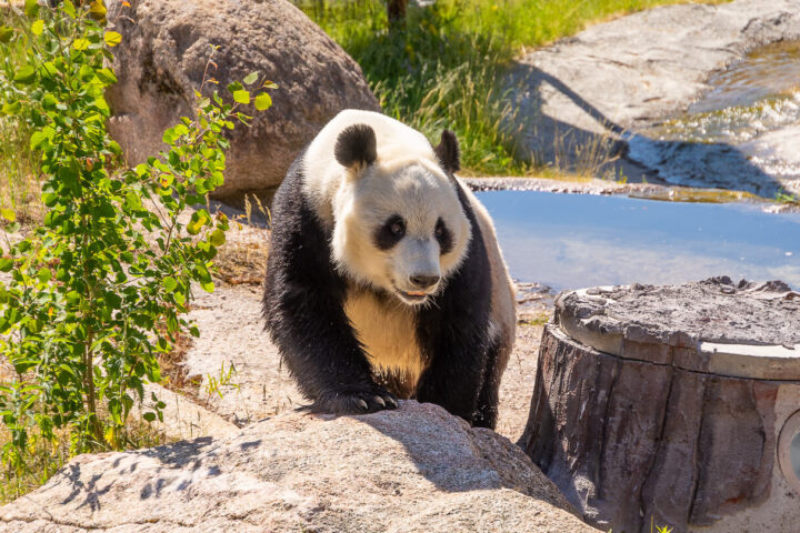 Pyry-panda, Ähtärin eläinpuisto