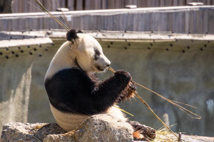 Pyry-panda syö bambua Ähtärin eläinpuistossa