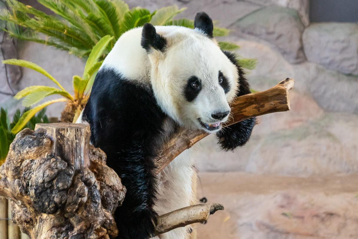 Matkailuvuosi 2020: Ähtärin eläinpuiston panda