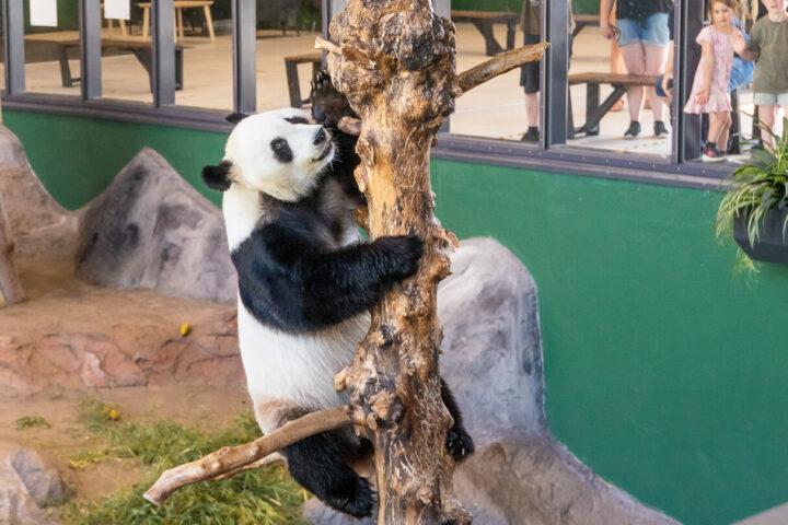 Pyry-panda kiipeile Ähtärin eläinpuistossa