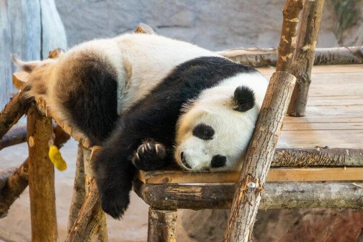 Lumi-panda, Ähtärin eläinpuisto