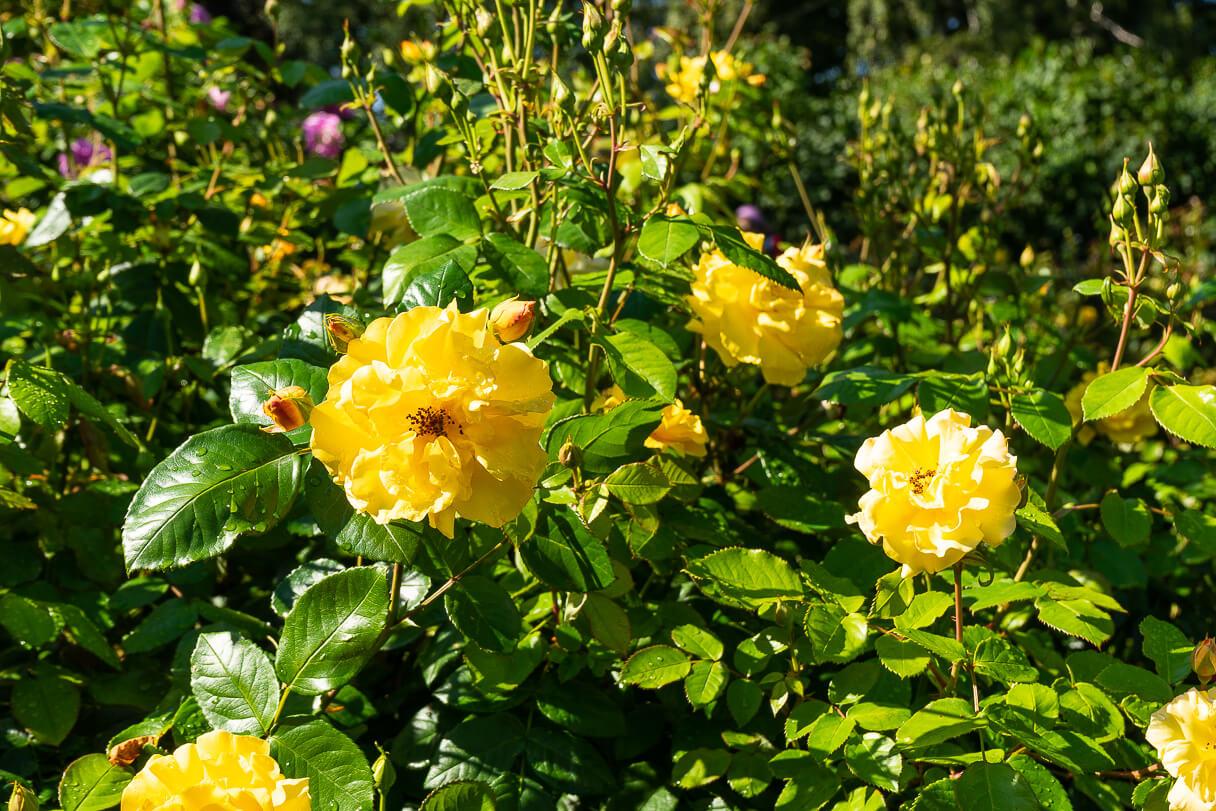 Hatanpään arboretumin ruusutarha, Tampere